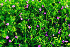 Green Grass Summer Background with Lilac Blooming Flowers Stock Photos
