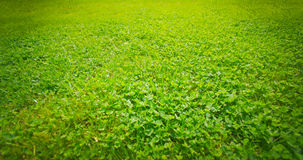 Green grass in the summer in field Royalty Free Stock Image