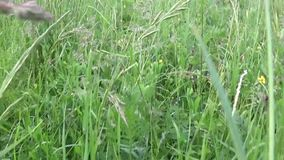 Green grass in summer field motion subjective camera shutting footage stock video footage