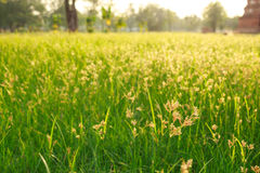 Green grass summer grassland softlight soft focus. Green meadow summer grassland softlight soft focus Royalty Free Stock Image