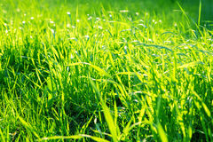 Green grass in the summer sun Royalty Free Stock Photography