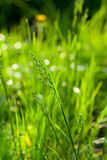 Green grass at summertime Stock Photography