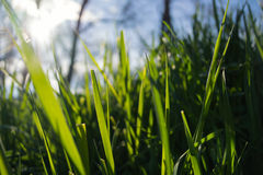 Green grass in the sun. Close up. On the background you can see the sky and trees Stock Photos