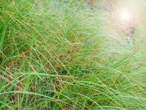Green grass and sun flare Royalty Free Stock Image
