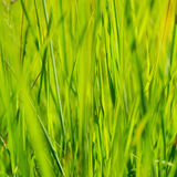 Green grass in sun summer sunlight on blur backgrounds Royalty Free Stock Photos