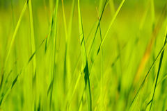 Green grass in sun summer sunlight on blur backgrounds Stock Images
