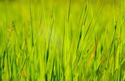 Green grass in sun summer sunlight on blur backgrounds. Green grass in sun summer sunlight on blur background Royalty Free Stock Photography