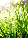 Green grass in sunlight. At sunset stock photo