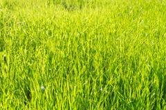 Green grass in sunlight background fotografía de archivo libre de regalías
