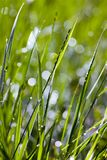 Green grass in the sunlight Royalty Free Stock Photo