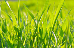 Green grass  in the sunlight on green background Royalty Free Stock Photography