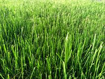 Green grass sunlit. In the park Royalty Free Stock Image