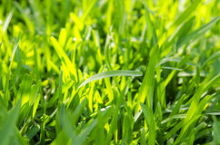 Green grass in a sunny day Royalty Free Stock Photo