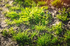 Green grass on a sunny day. selective focus. texture of grass. background for design. natural wallpaper. concept of spring.  Royalty Free Stock Photography