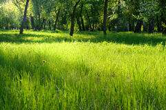 Green grass on a sunny meadow Stock Photography