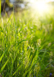 Green grass sunset Royalty Free Stock Photos
