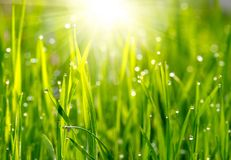 Green grass sunset. Green grass with water drops on sunset Royalty Free Stock Photography