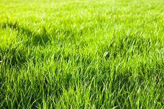 Green grass in the sunshine Royalty Free Stock Photography