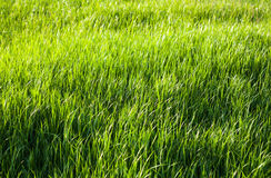 Green grass in the sunshine Royalty Free Stock Image