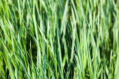 Green grass in the sunshine Royalty Free Stock Photos