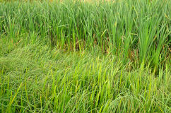 Green grass in the swamp Royalty Free Stock Images