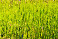 Green grass in the swamp Royalty Free Stock Photo