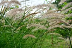 Green grass swaying in the wind Stock Photos