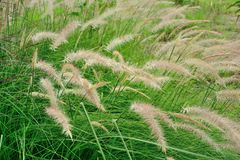 Green grass swaying in the wind Stock Image