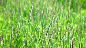 Green grass swaying in the wind. (life sound stock video footage