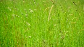 Green grass swaying in the wind stock video