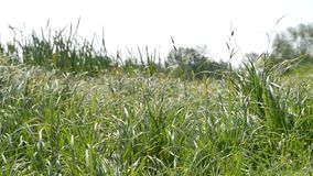 Green grass sways in the wind. The concept of ecological clean planet stock video footage