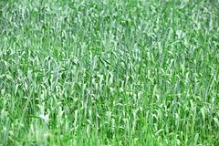 Green Grass Tall Field Stock Photo. Background stock photography
