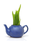 Green grass in teapot Stock Image