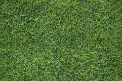 Green grass texture. Texture of green grass in the park Royalty Free Stock Images