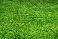 Green grass, texture Royalty Free Stock Photography
