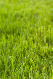 Green grass texture. Vertical green lawn texture with perspective Royalty Free Stock Photos