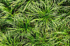 Green grass texture for background Royalty Free Stock Photography