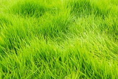 Green grass texture background Royalty Free Stock Images
