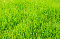 Green grass texture background Stock Photos