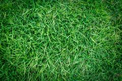 Green grass texture or green grass background. green grass for golf course, soccer field or sports background. Green grass texture or green grass background Stock Photos