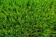 Green grass texture background Stock Images