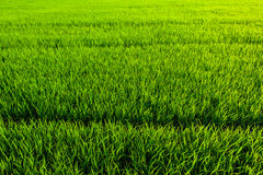 Green grass texture background Royalty Free Stock Image
