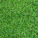 Green grass texture background for soccer sport or football spor Stock Image