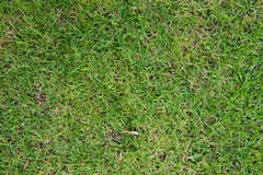 Green grass texture background, wall natural Royalty Free Stock Photos