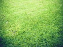 Green grass texture blurs with golden light at sunset for the background Royalty Free Stock Photo