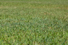 Green grass texture. Close background Stock Images