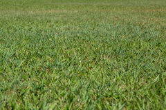 Green grass texture. Close background Royalty Free Stock Photography