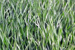 Green grass texture close-up, selective focus. Green grass texture. Beautiful fresh grass. Close-up view Royalty Free Stock Images