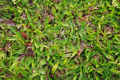 Green grass texture details. Green grass texture background, for environmental theme. Close-up view with more details Royalty Free Stock Image
