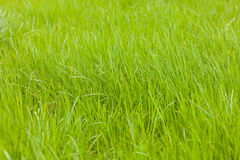Green grass texture from a field Royalty Free Stock Photos